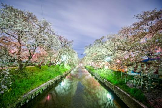 神秘的に光る夜桜川